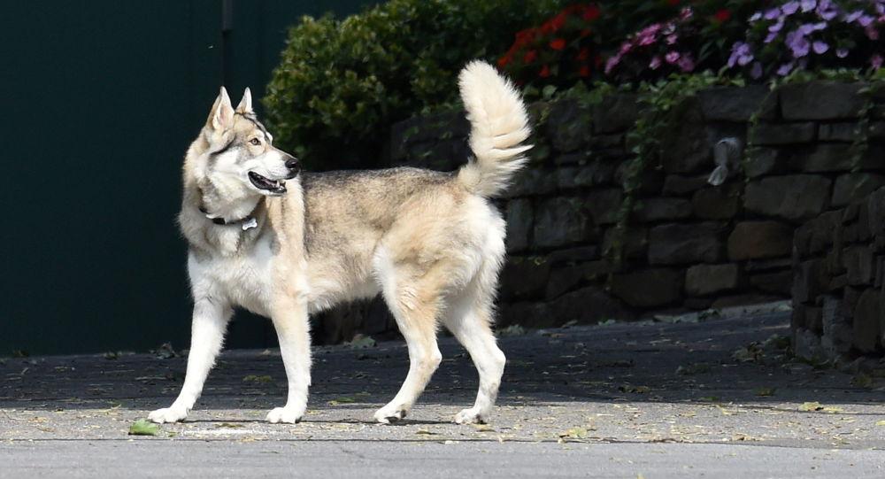 Последний друг?  Опальный Куомо был замечен гуляющим со своей собакой в одиночестве