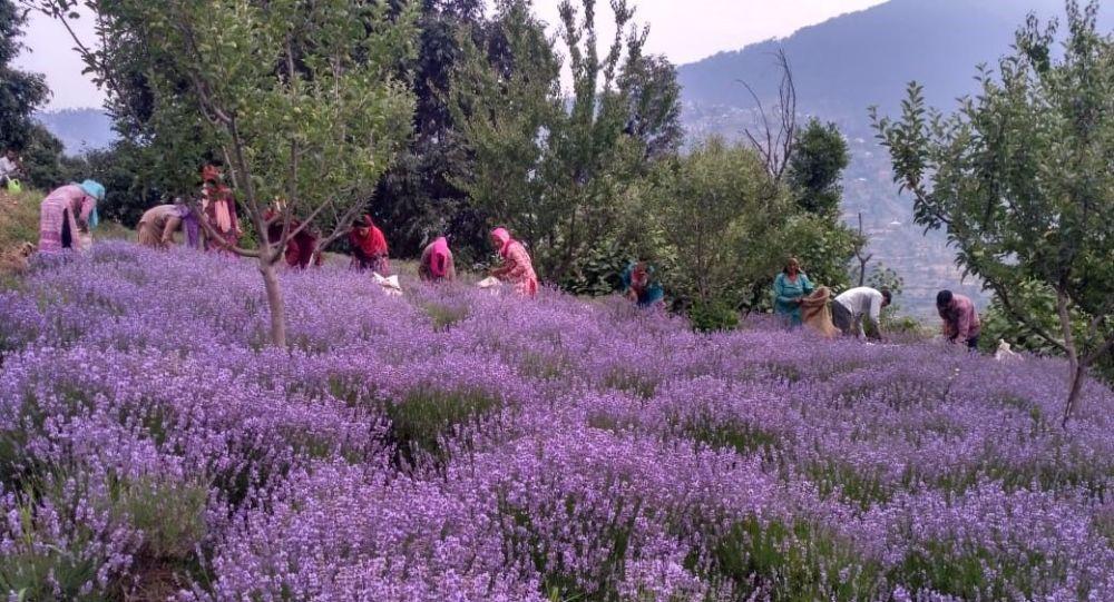 В самом нестабильном регионе Индии ожидается расцвет агропромышленности, поскольку фермеры Кашмира обращаются к лаванде