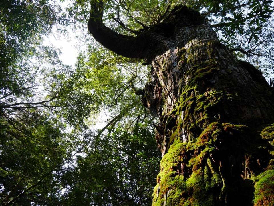 Arbre dans la forêt de Unsuikyo