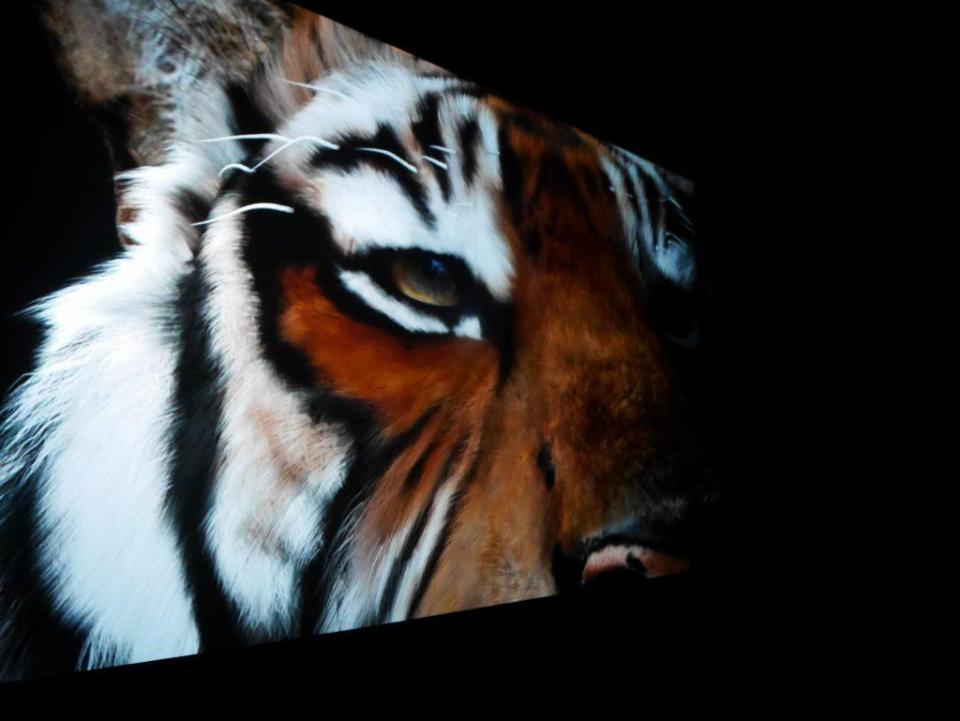 La confrontation de l'homme face au tigre