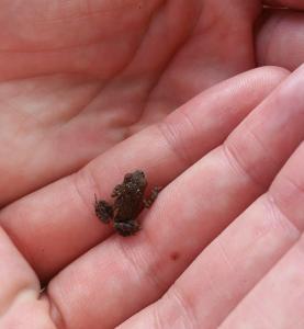 Une toute petite grenouille trop mignonne