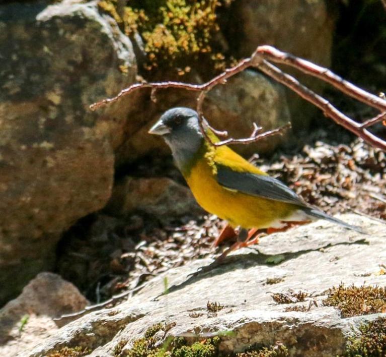 Phrygile de Patagonie mâle (Phrygilus patagonicus)
