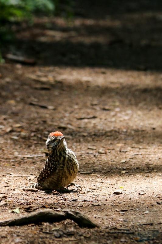 Mignon petit pic bûcheron (Veniliornis lignarius) sur lequel je manque de marcher (comment marche-t-on sur un oiseau ? Et bien je ne sais pas), fort heureusement il s'est envolé mais s'est posé juste sous une douce lumière.