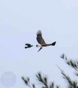 Un corbeau qui tente de voler la prise d'un aigle