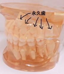 永久歯の前歯が重なって生えてくる理由