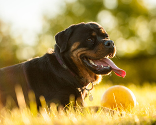 The Best Tough Dog Toys A Love Of Rottweilers