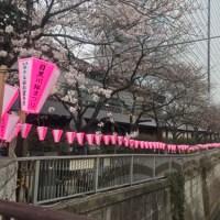 【目黒さくら特集2019】開花進まず、見ごろはいつ?