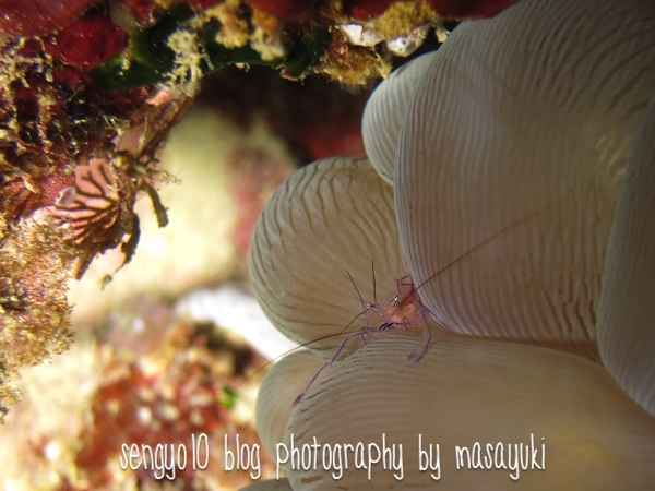 沖縄ダイビング 砂辺-バブルコーラルシュリンプ