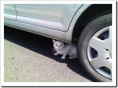 cat-under the-car