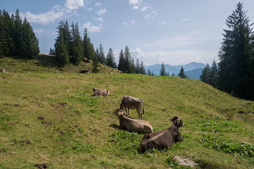Wandern zum Riedberger Horn - Kuhweide