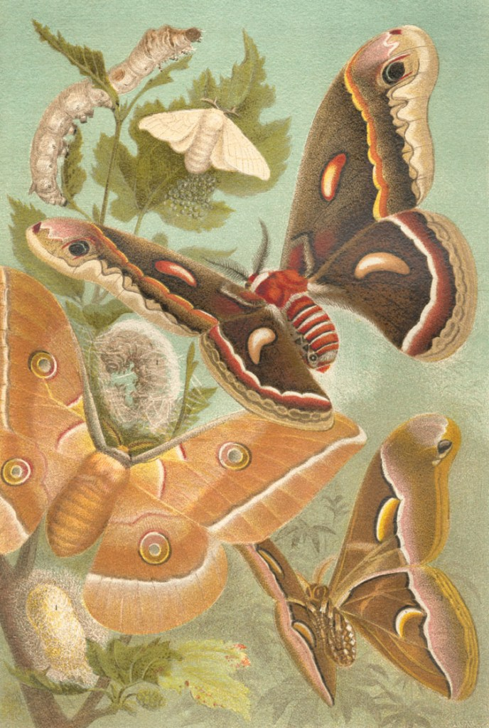 Four of the most important domesticated silk moths. Top to bottom: Bombyx mori, Hyalophora cecropia, Antheraea pernyi, Samia cynthia | From Meyers Konversations-Lexikon (1885–1892) |