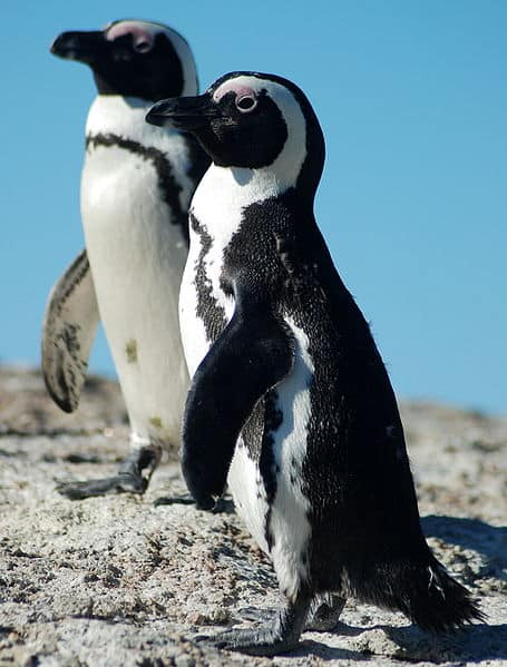 alt= african penguin two