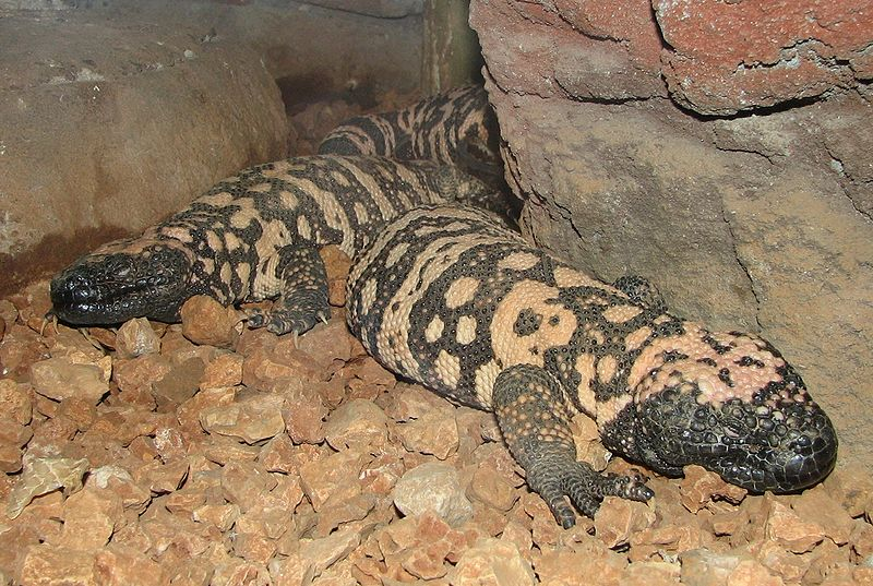 Gila Monster Eating When a large, carrion ...