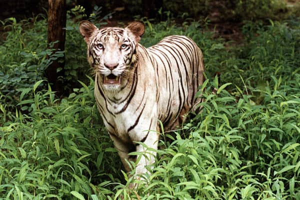White Tiger Panthera Tigris Tigris Azanimals Com