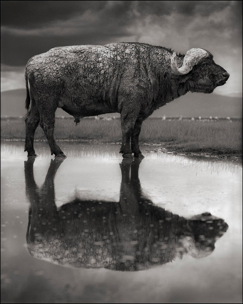 Nick Brandt Buffalo In Lake Lake Natron Photograph At