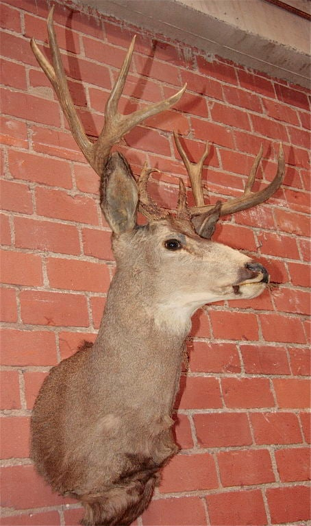 Taxidermist Deer Head At 1stdibs