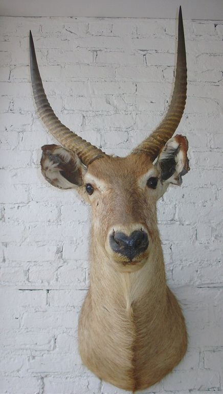 1920s African Wall Mounted Trophy Taxidermy At 1stdibs