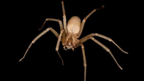 HT brown recluse spider tk 140228 16x9 608 Fla. Man Dies From Brown Recluse Spider Bite