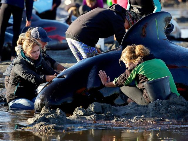 PHOTO: Volunteers attend to some of the hundreds of stranded pilot whales still alive after one of the countrys largest recorded mass whale strandings, in Golden Bay, at the top of New Zealands South Island, Feb. 10, 2017.