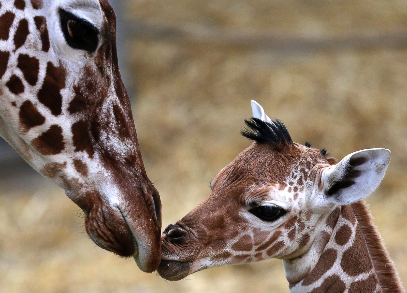Baby Giraffe Gives Mom A Kiss Picture