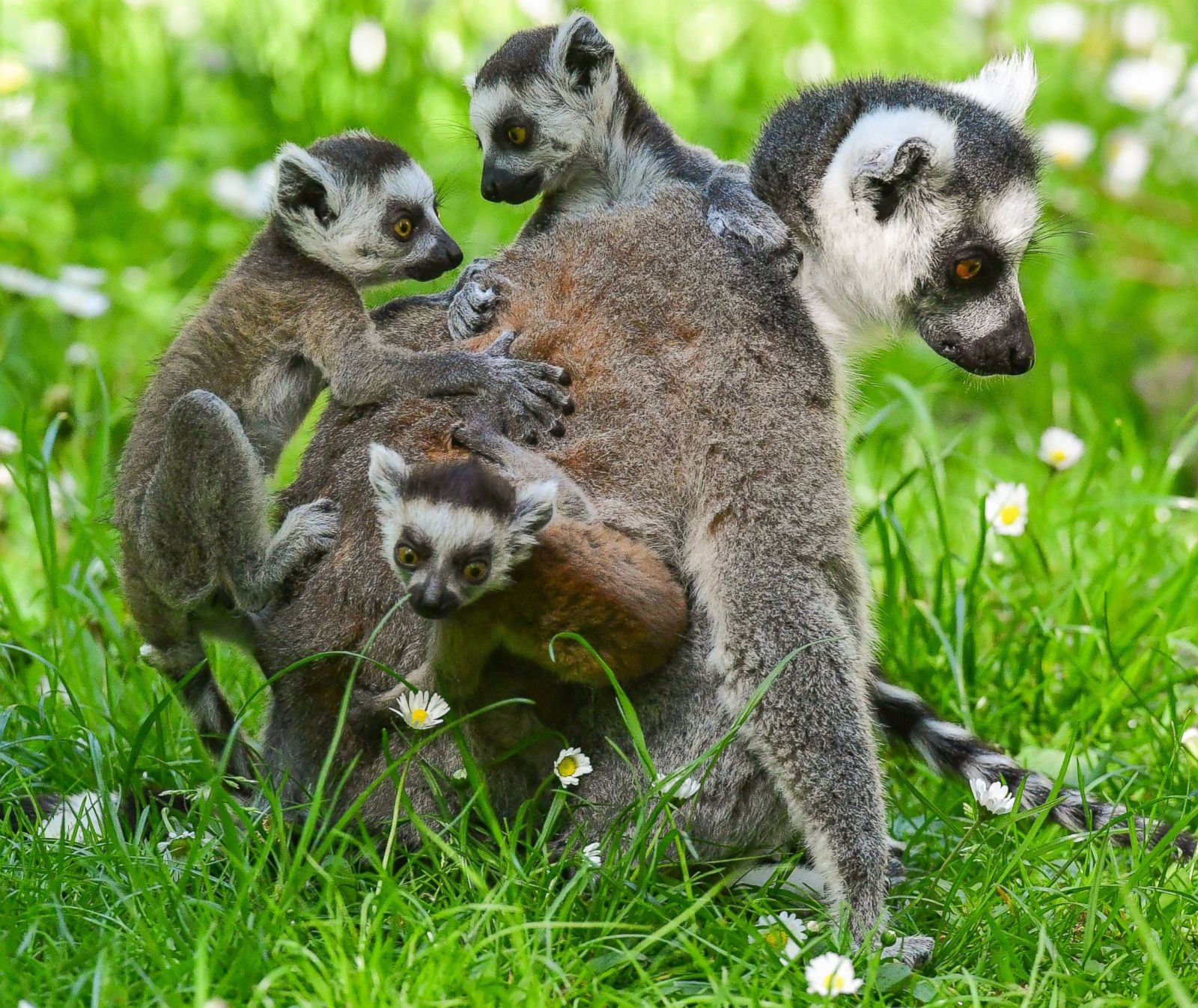 Baby Lemurs Get A Ride From Mom Picture