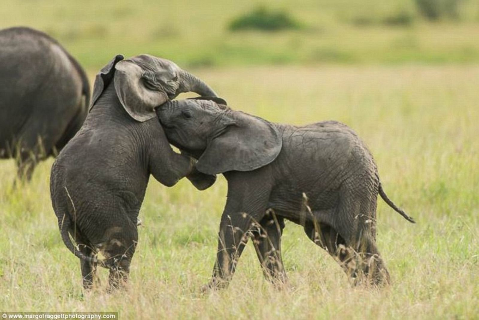 See How Baby Elephants Play Picture