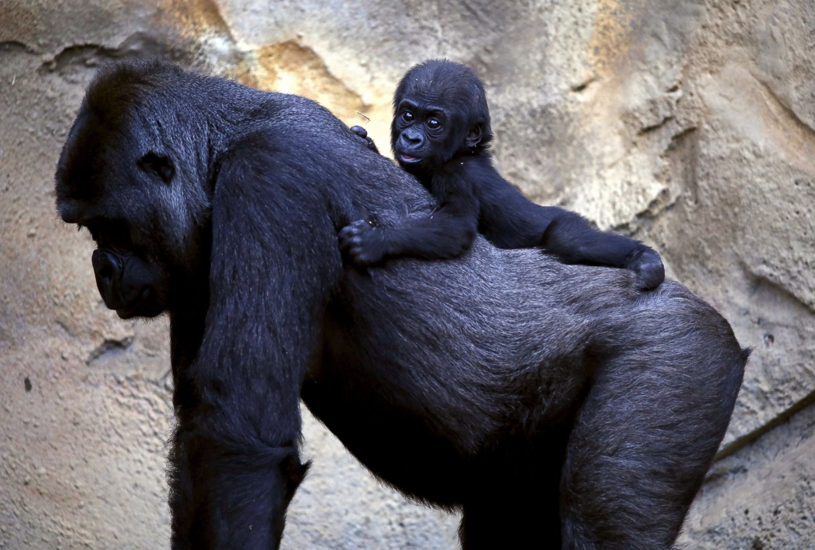 Baby Gorilla Rides Mom S Back Picture