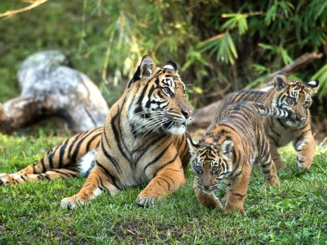 PHOTO: Jeda and Anala are the first tigers ever born at Walt Disney Worlds Animal Kingdom.