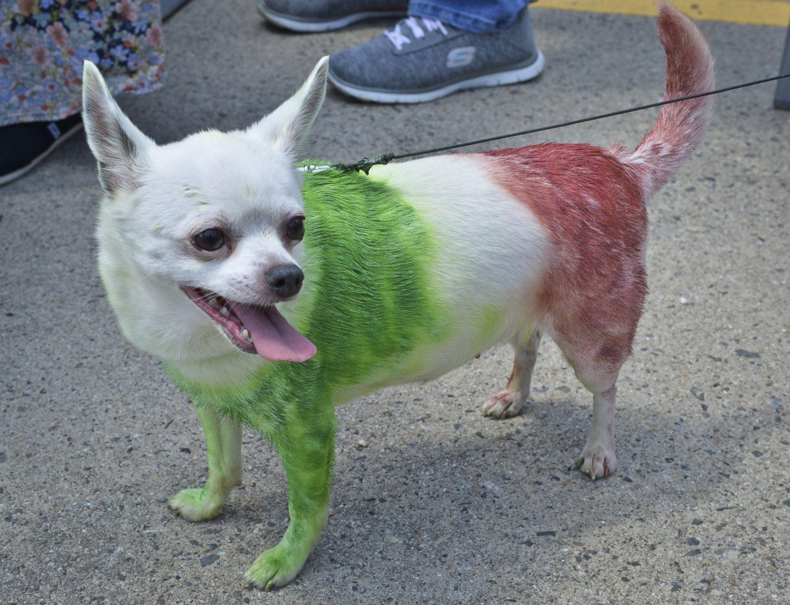 Cinco De Mayo Chihuahuas Photos Image 4