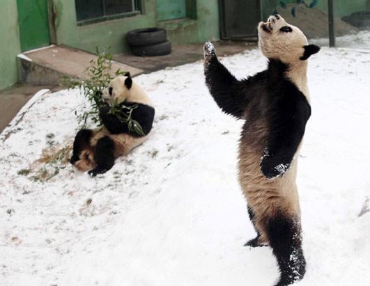 Giant Panda Dances Gangnam Style
