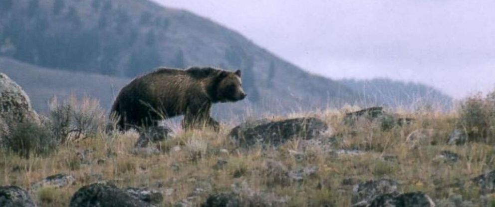 PHOTO: This undated file photo provided by the National Park Service shows a grizzly bear walking along a ridge in Montana.