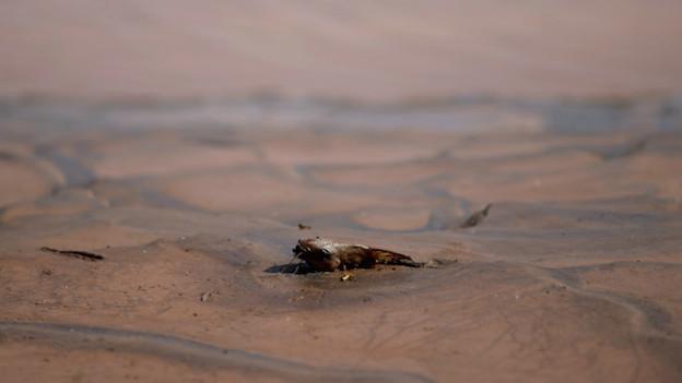Un pez muerto en el rio Doce por el lodo que soltó el accidente minero en el estado de Minas Gerais.