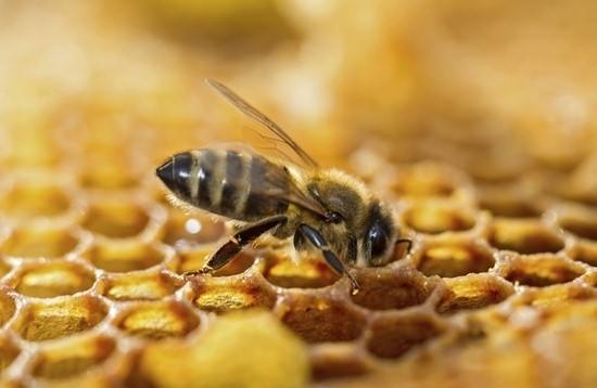 méh tej és prosztatitis Prostatitis melegítő kenőcs