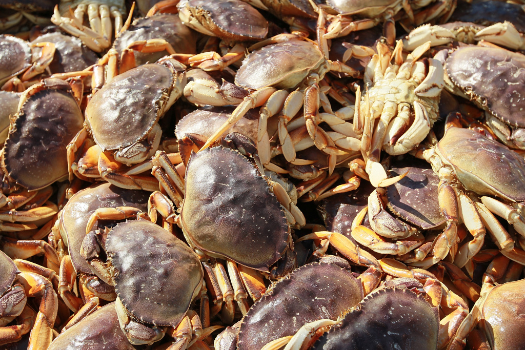Image result for dungeness crab