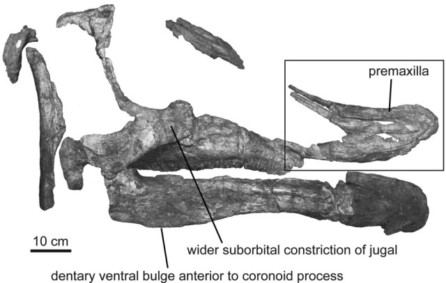 The skull of Augustynolophus morrisi.