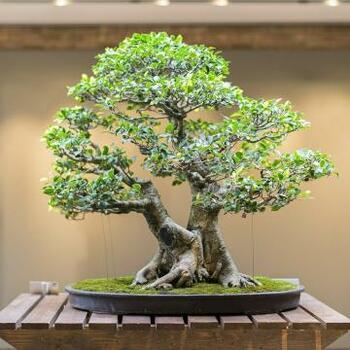 Редкие симпатичные карликовые деревья БОНСАЙ