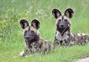 African wild dogs. Photo: Arno Meintjes Wildlife