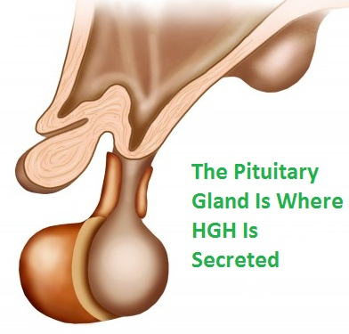 pituitary gland for HGH