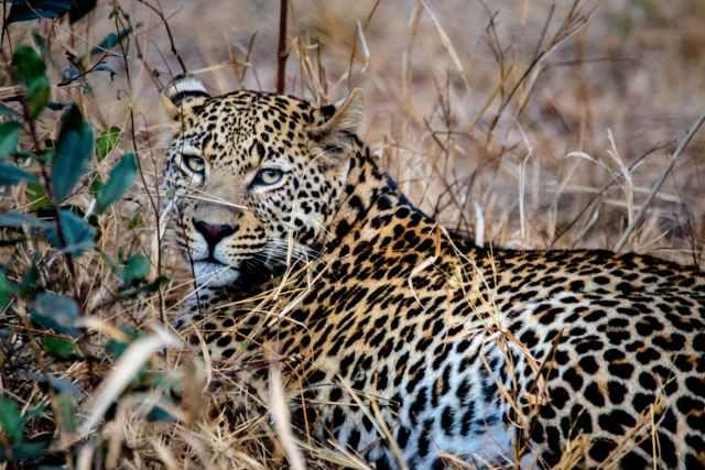 brown leopard on grass