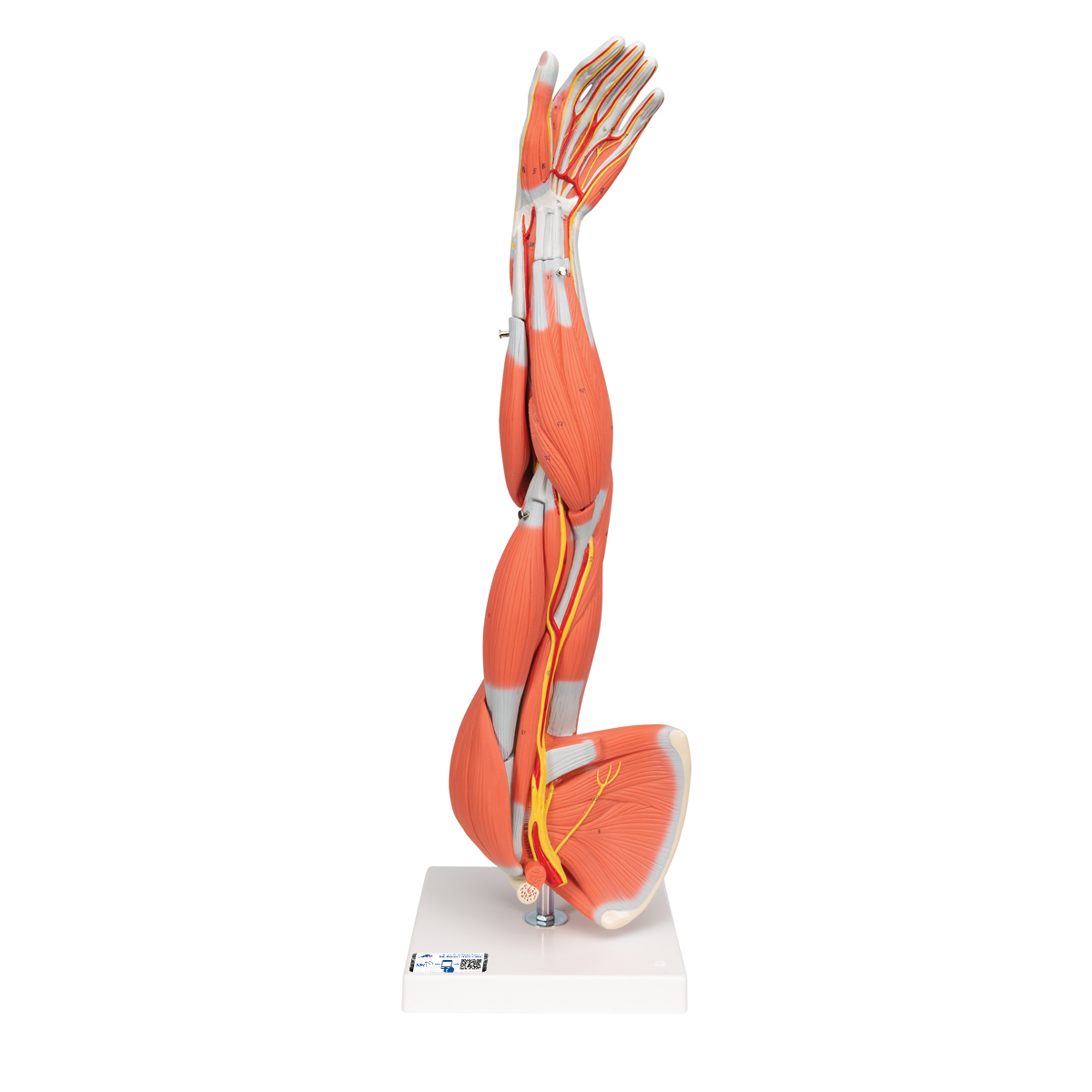 Anatomy Models And Videos