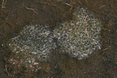 Eastern Newt Egg Masses Notophthalmus Viridescens Photo