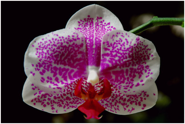 Phalaenopsis Super stupid
