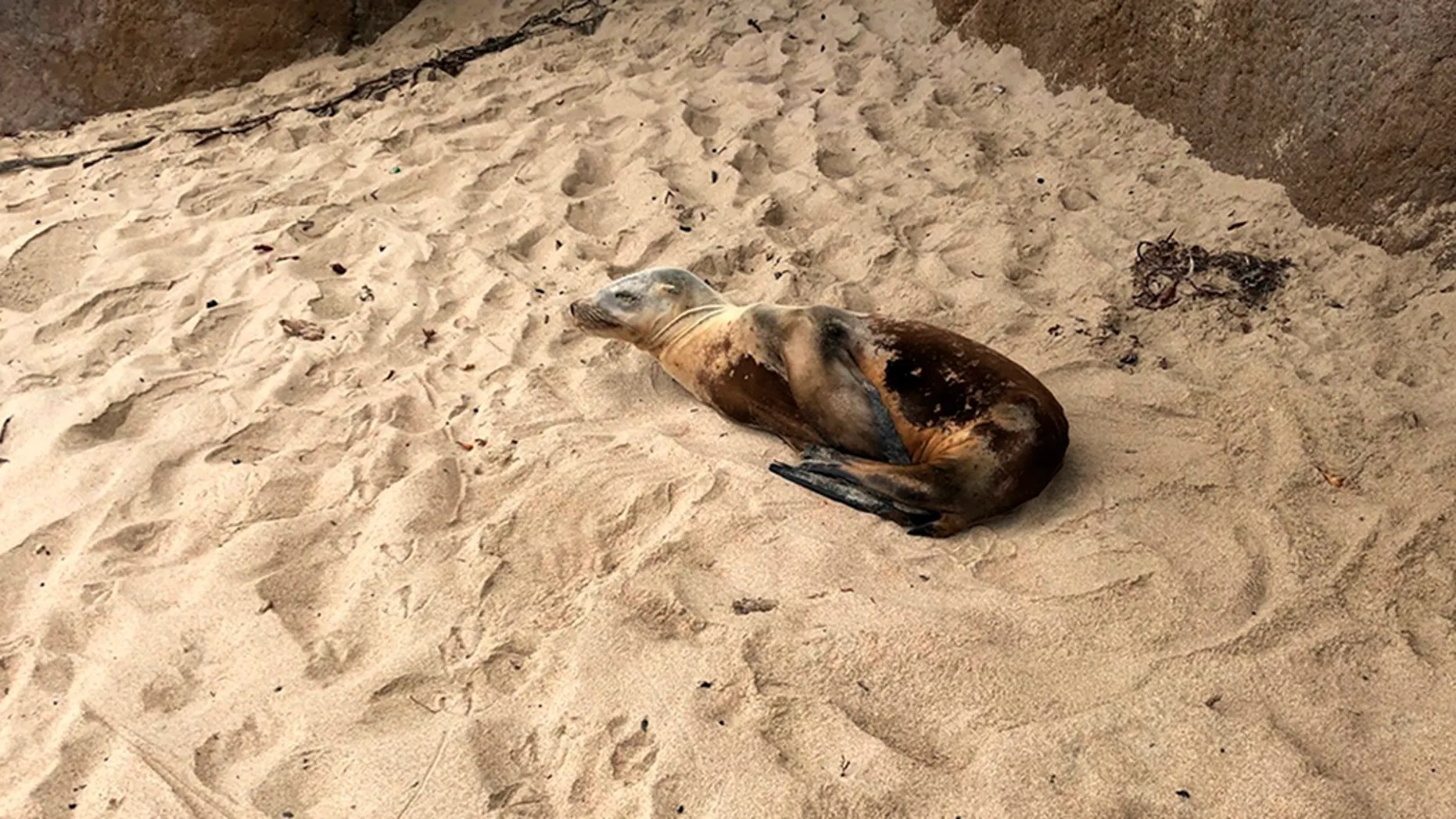 This summer 2018 photo provided by the Marine Mammal Center shows a California sea lion prior to its rescue at a Monterey County beach along the central California coast. The rescue center says California sea lions are coming down with a potentially fatal bacterial infection in near-record numbers. (AP/Marine Mammal Center)