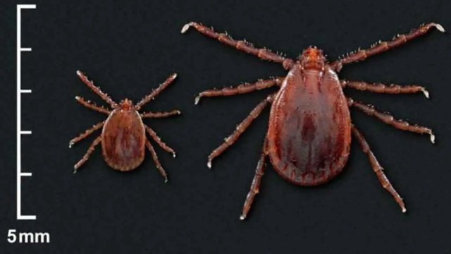 Asian longhorned ticks were first discovered in the U.S. in August 2017.