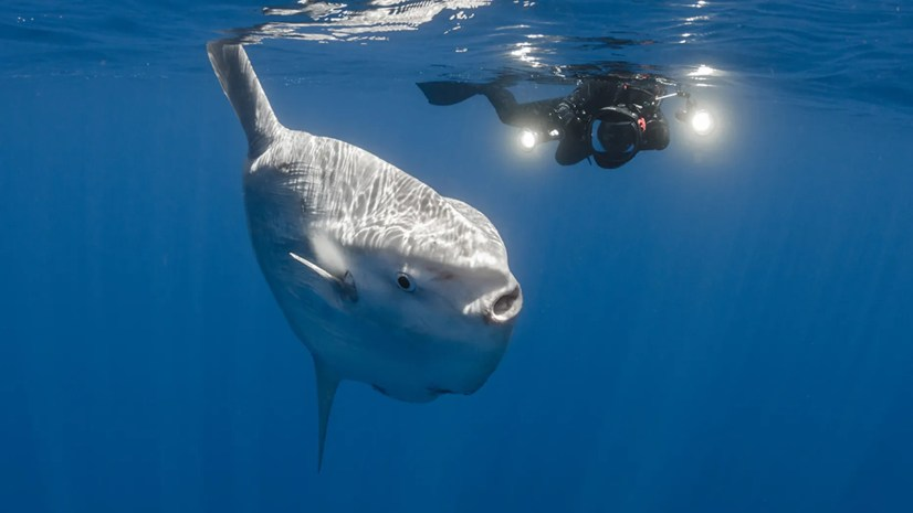 A huge sunfish