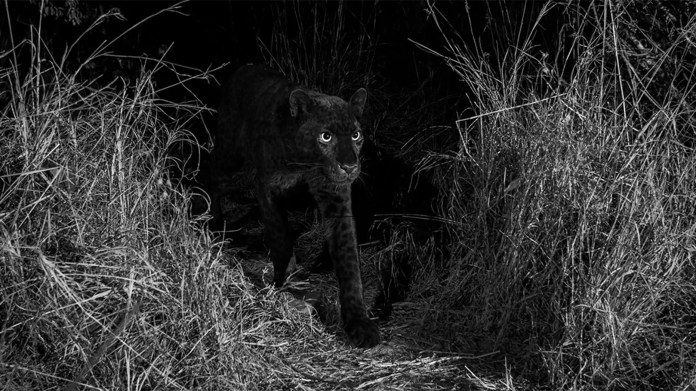A rare black leopard was sighted in Kenya in 2018.