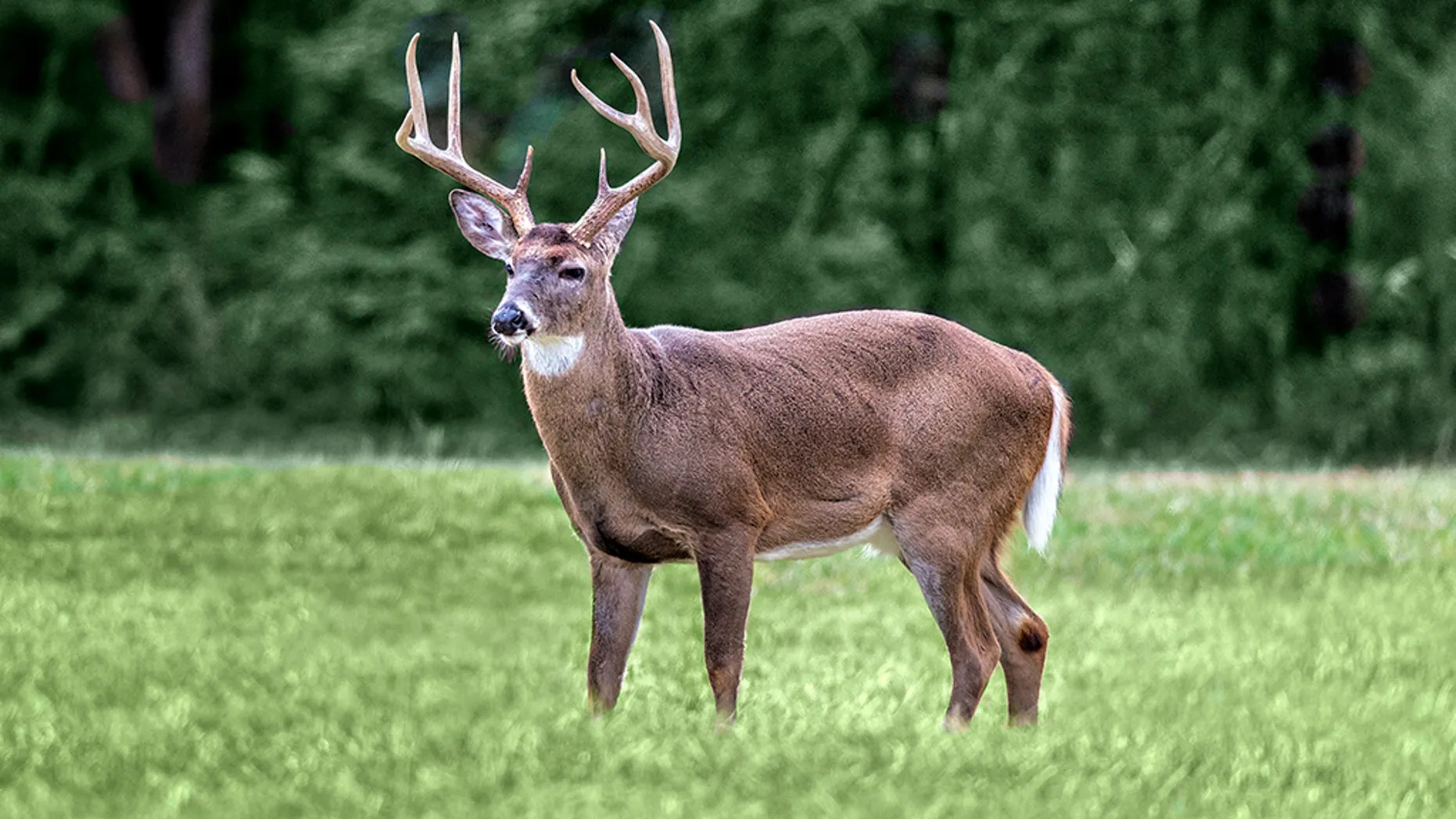 A white-tailed buck standing in a meadow in the Cades Cove section of the Great Smoky Mountains National Park.