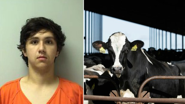 Image result for 19-year old Joshua Litza faces 7 years jail term for starving cows