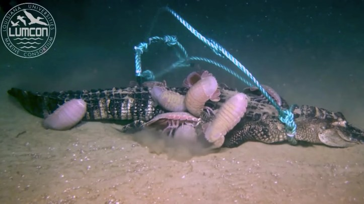 Giant isopods feed on an alligator carcass at the bottom of the Gulf of Mexico.