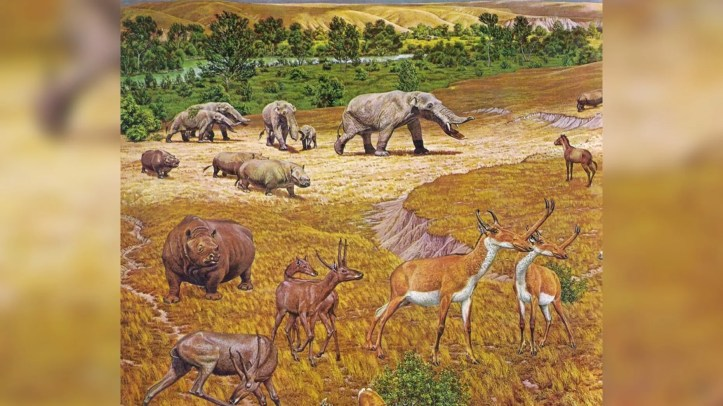 An illustration showing the ancient animals — such as elephant-like gomphotheres, rhinos, horses and antelopes with slingshot-shaped horns — that lived near what is now Beeville, Texas, about 12 million years ago.